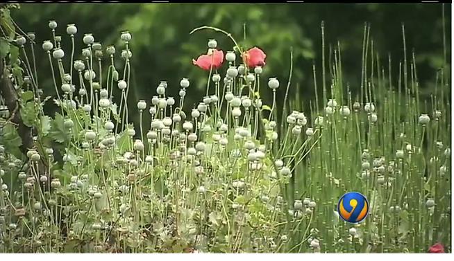 Poppy plants4.png